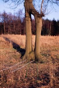 Wachstumsveränderung an Bäumen durch Erdstrahlen