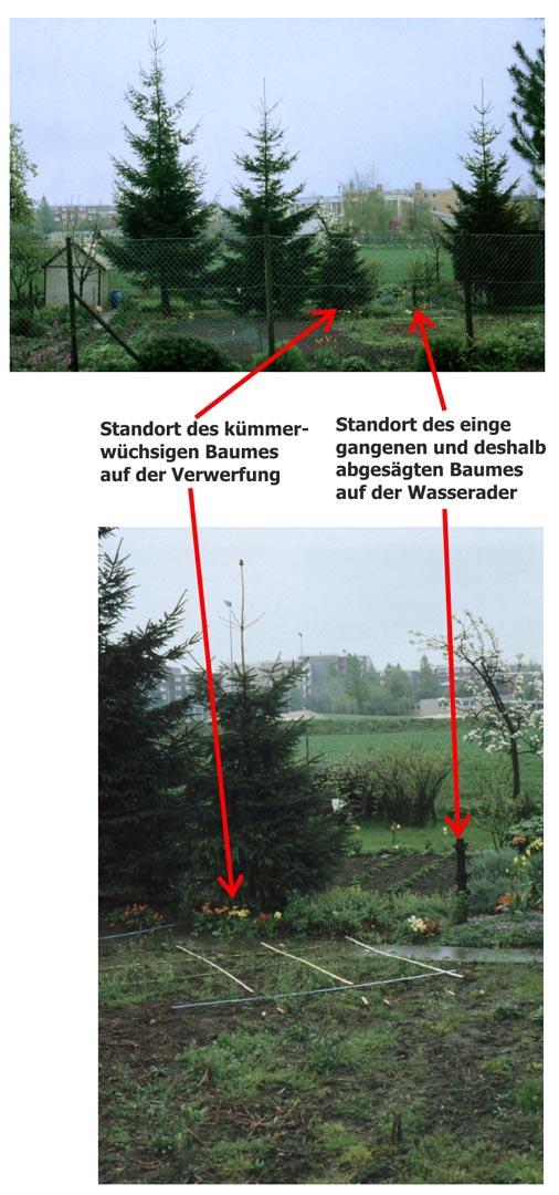 Standort des kümmerwüchsigen Baumes auf der Verwerfung und des eingegangenen Baumes auf der Wasserader